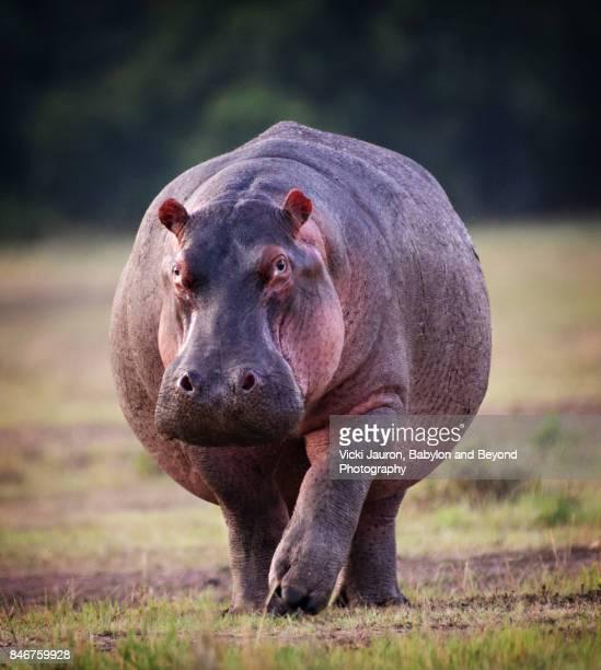 Graceful Hippopotamus Walking Toward the Camera