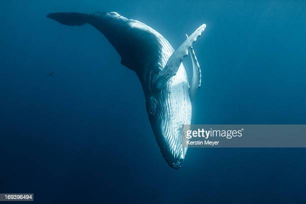 graceful humpback calf - wal stock-fotos und bilder