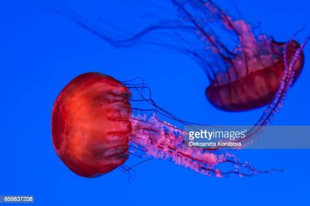 graceful jellyfish swimming - istock stock-fotos und bilder