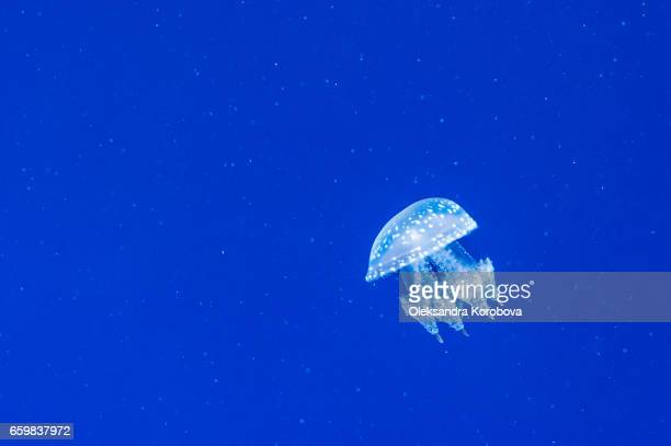 graceful jellyfish swimming - istock photo stock pictures, royalty-free photos & images