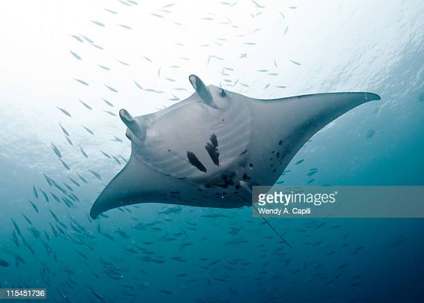 Graceful manta