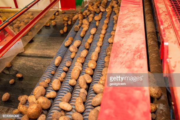 Grading a freshly harvested potato crop