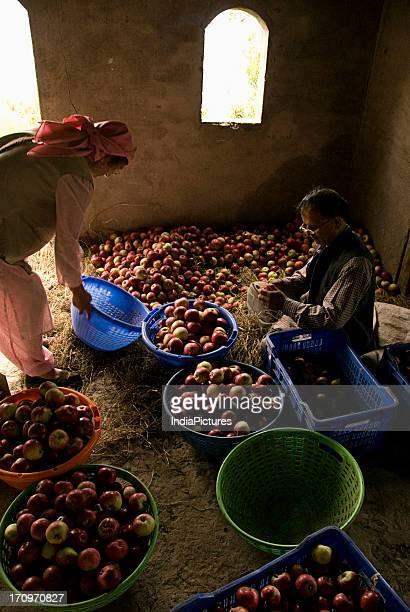 Grading of apples in Shimla Himachal Pradesh India