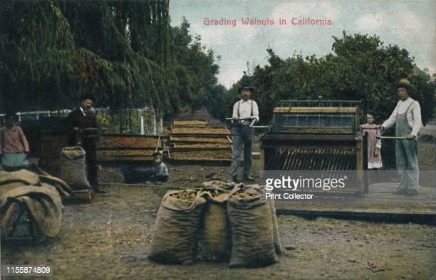 Grading Walnuts in California', circa 1910s. Workers sorting walnuts. Postcard. [Newman Post Card Co., Los Angeles, California, USA]. Artist Unknown.