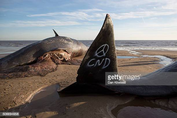 Graffiti saying 'CND' is seen on the tail of one of three Sperm Whales that were found washed ashore on a beach near Skegness over the weekend on...