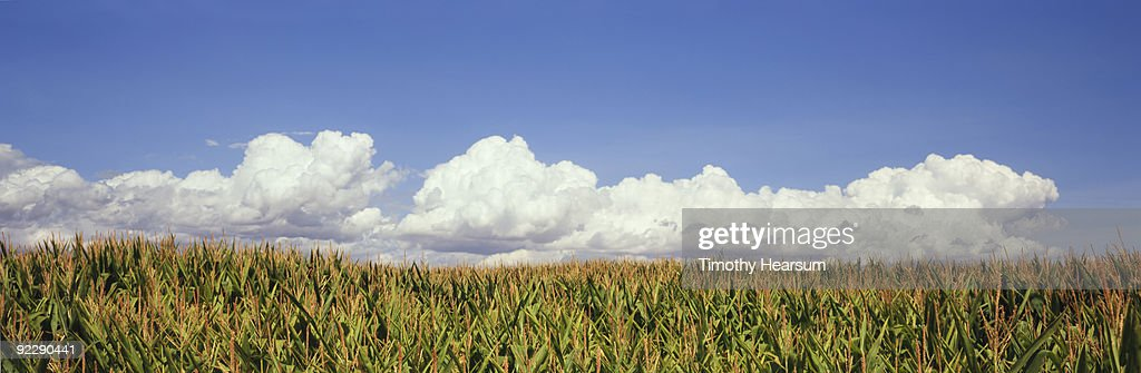 Grain corn field with clouds : Stock Photo