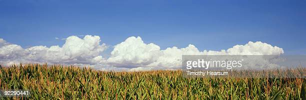 grain corn field with clouds - timothy hearsum stock pictures, royalty-free photos & images