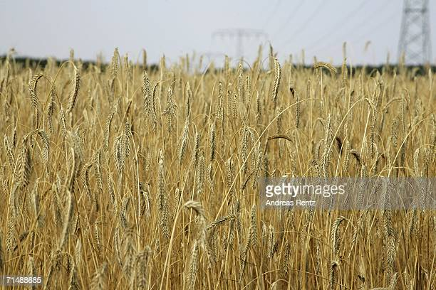 Grain field burns under the midday sun on July 20, 2006 in Luckenwalde, Germany. Farmers are saying that the corn is beingg destroyed as temperatures...