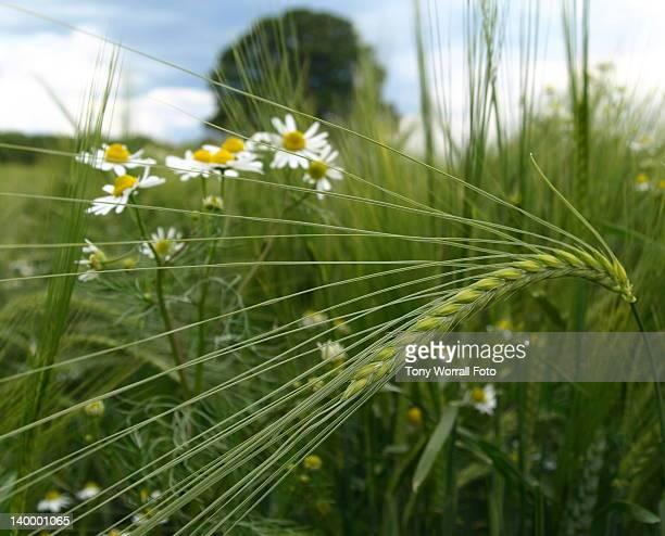 grain field - 休耕田 ストックフォトと画像