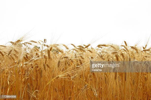 Champ de céréales