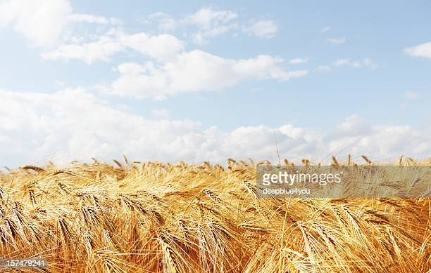 grain field with blue cloudy sky