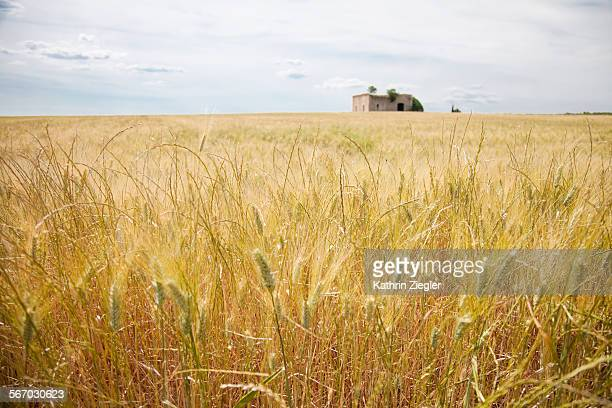 grainfield with farmhouse in Apulia, Italy