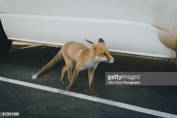 grampians fox - tame stock photos and pictures