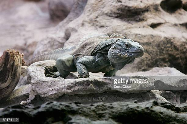 Grand Cayman Blue Iguana one of the world's most endangered iguanas is displayed at the Shedd Aquarium February 10 2005 in Chicago Illinois Before...