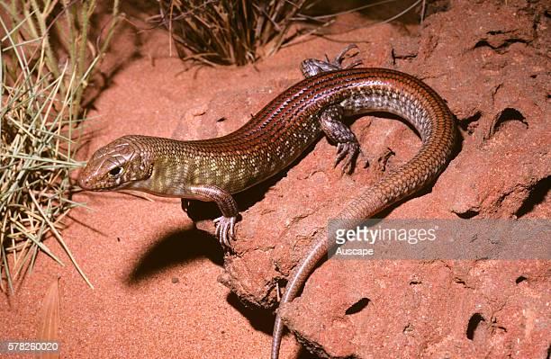 Grand ctenotus Ctenotus grandis grandis Telfer Great Sandy Desert Western Australia Australia