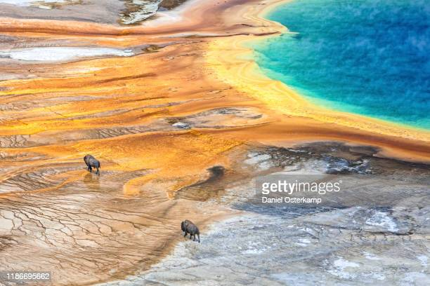 grand prismatic geyser with american bison passing by, yellowstone national park - physical geography stock pictures, royalty-free photos & images