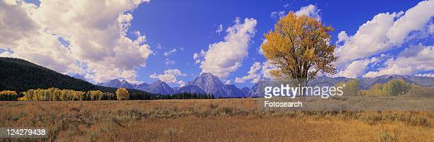 Grand Tetons and cotton tree in Grand Teton National Park, Wyoming