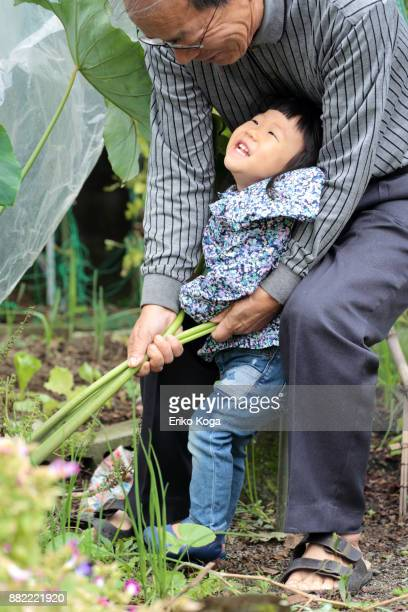 Granddaughter harvesting taro with grandfather
