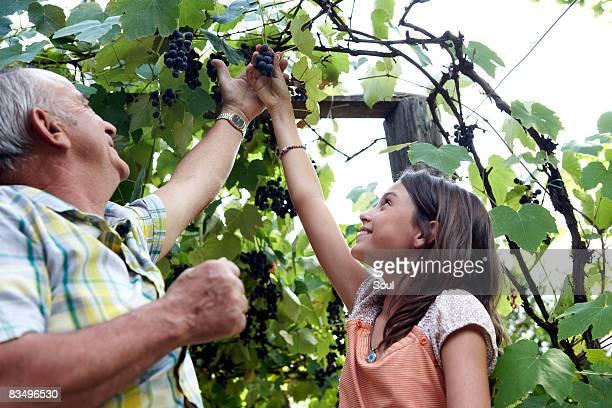 Großvater und Enkelin pflücken Weintrauben