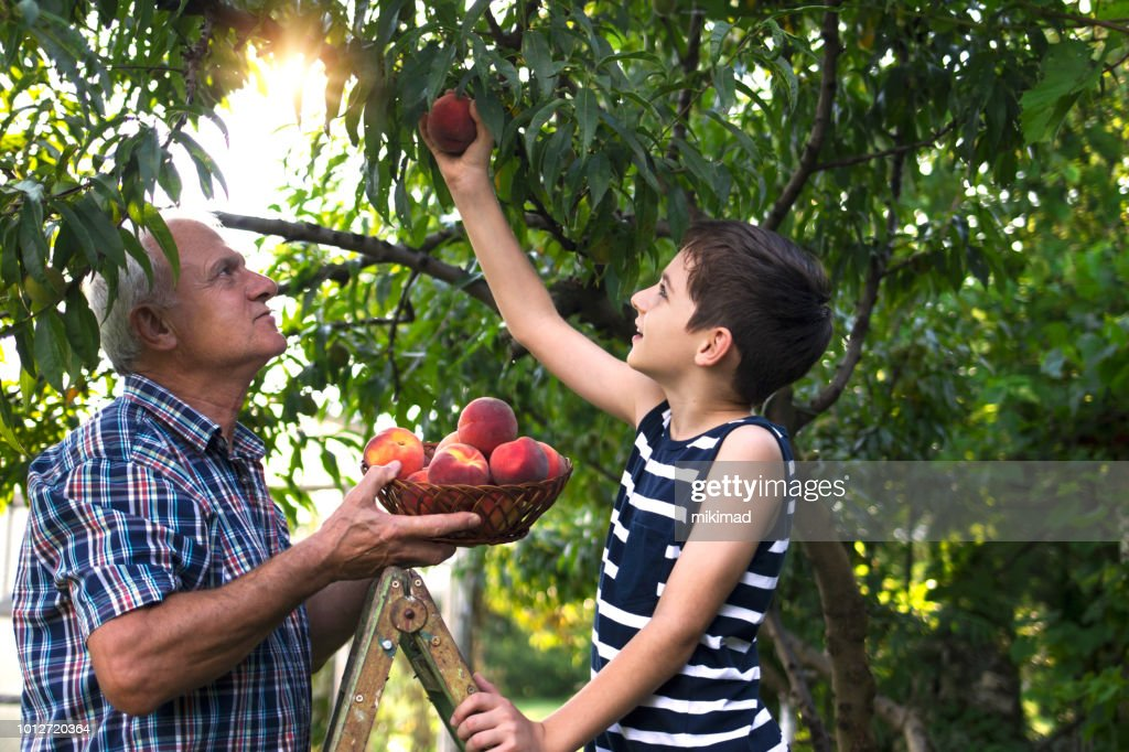 Grandfather and grandson picking peaches : Stock Photo
