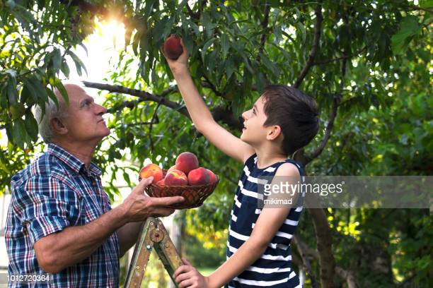 grandfather and grandson picking peaches - fruit tree stock pictures, royalty-free photos & images