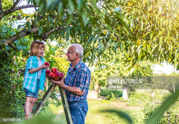 grandfather and grandson picking peaches - peach tree stock pictures, royalty-free photos & images