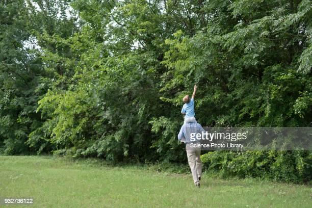 grandfather carrying grandson on his shoulders by trees - cavalitas imagens e fotografias de stock