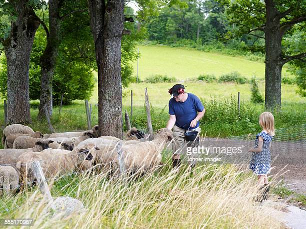 grandfather feeding sheep, girl watching - oxford shoe stock-fotos und bilder