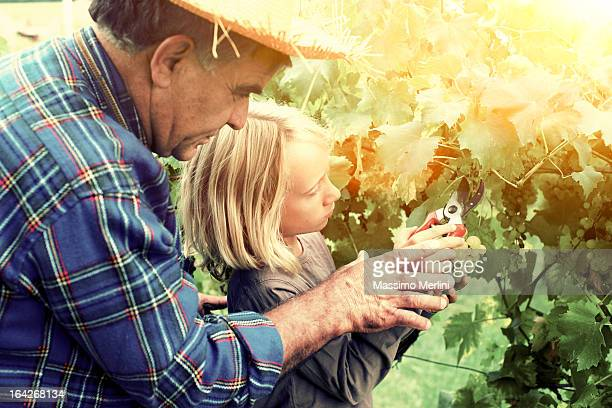 Grandfather is teaching harvesting to grandson