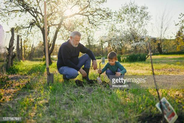 grandfather looking at grandson planting tree while crouching at garden - 植える ストックフォトと画像