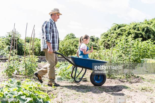 grandfather pushing wheelbarrow with granddaughter in the garden - wheelbarrow stock photos and pictures