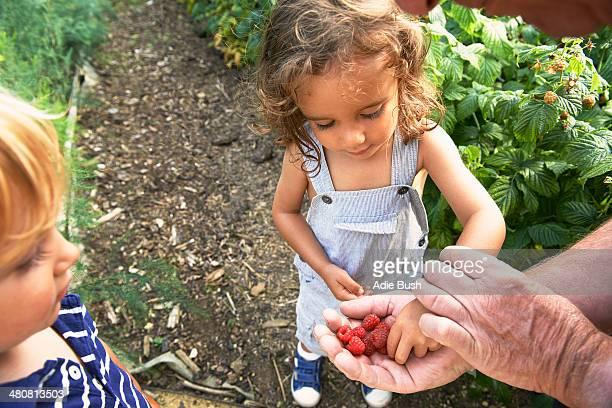 Grandfather sharing raspberries with grandchildren