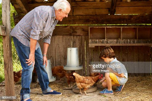 grandfather teaching grandson to feed hen in coop - chicken coop stock pictures, royalty-free photos & images
