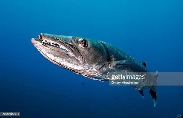 grandma barracuda - barracuda foto e immagini stock