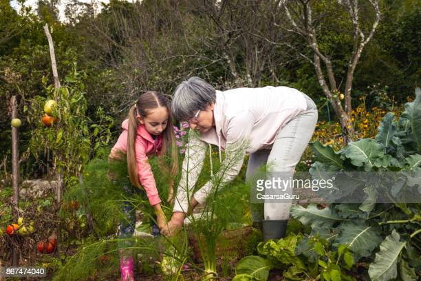 grandmother and granddaughter harvesting fennel in the homegrown garden - bending over stock pictures, royalty-free photos & images
