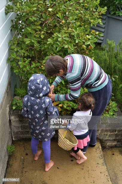 grandmother and granddaughters picking fruit - rafael ben ari stockfoto's en -beelden