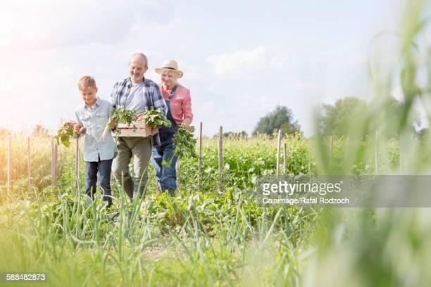 Grandparents and grandson harvesting vegetables in sunny garden