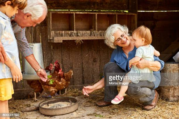 grandparents showing hens to children in coop - chicken bird stock photos and pictures