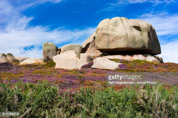 granite stone and wildflowers in summer in ploumanach, brittany, france - cotes d'armor stock photos and pictures
