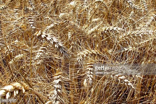 Grannen Weizen in der Markung Sehnde bei Hannover