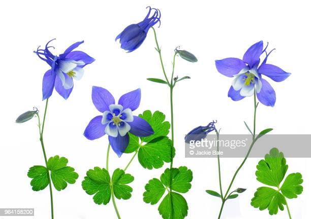 granny's bonnets - columbine flower stock pictures, royalty-free photos & images