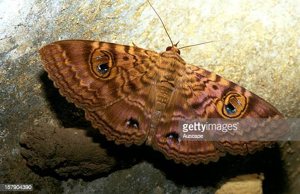 Granny's cloak moth a common rather large moth often seen in sheds and outhouses East coast Australia