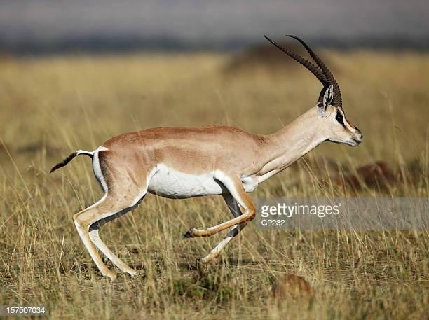 A grant gazelle in its natural habitat