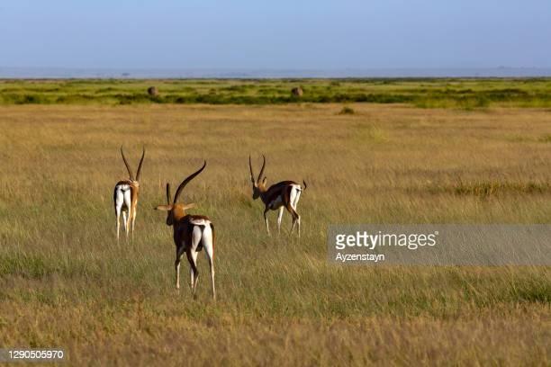 grants gazelle in amboseli national park - erbivoro foto e immagini stock