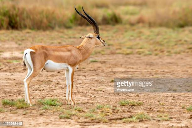 grant's gazelle - one animal stock pictures, royalty-free photos & images