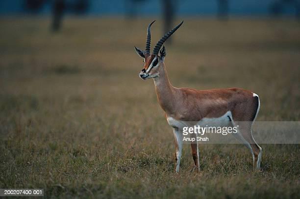 Grant's gazelle (Gazelle granti), side view, Masai Mara N.R, Kenya