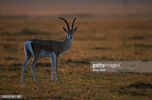 Grant's gazelle (Gazelle granti) watching, Masai Mara N.R, Kenya