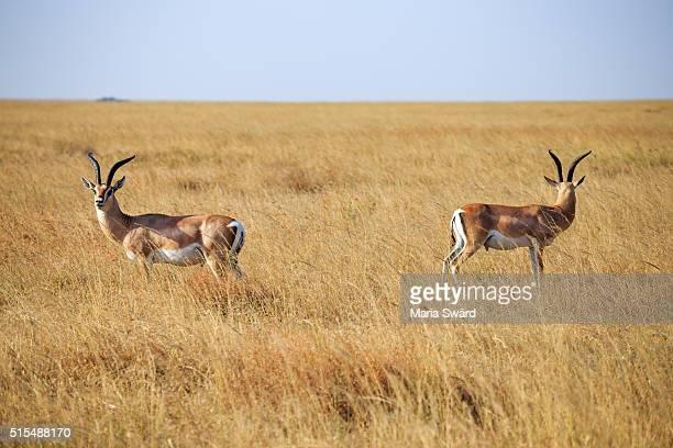 Grants Gazelles, Serengeti National Park, Tanzania