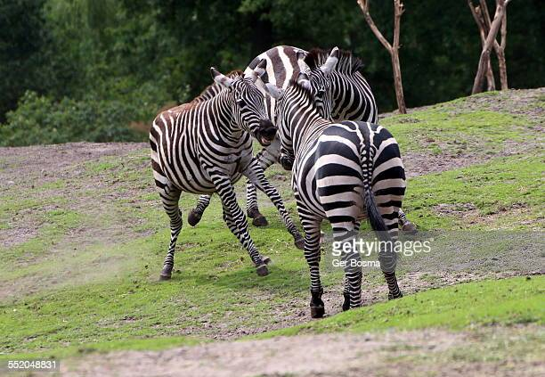 grant's zebra stand-off - animated zebra stock pictures, royalty-free photos & images