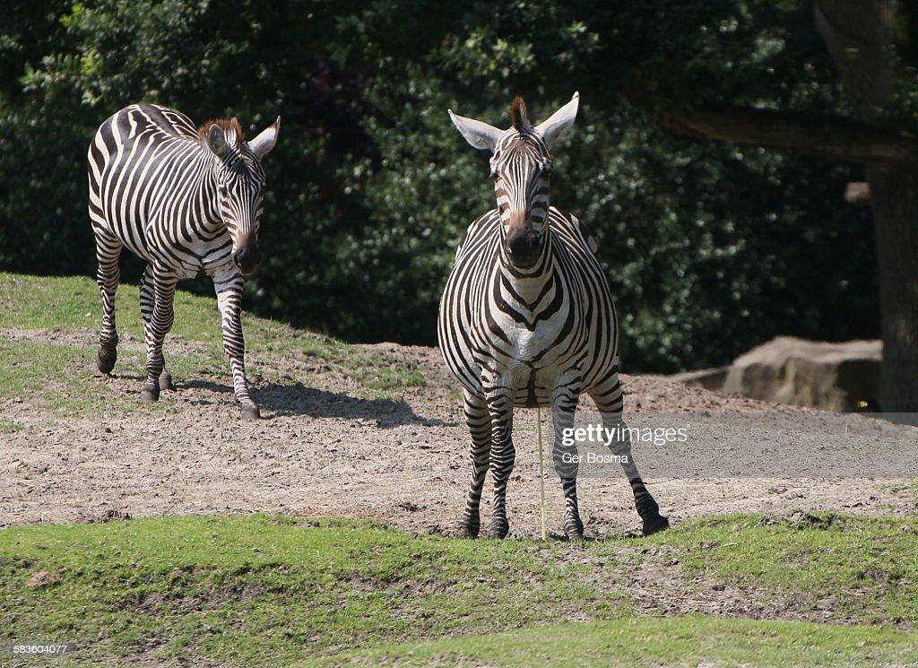 Grant's Zebras : Stock Photo